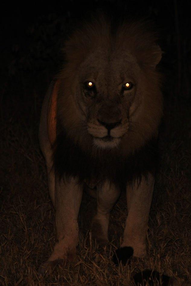 Lion's Glowing Eyes at Night