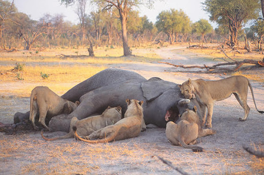 Lions Kill Elephants