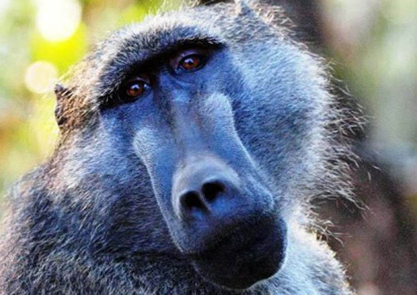 Thoughts in Baboons