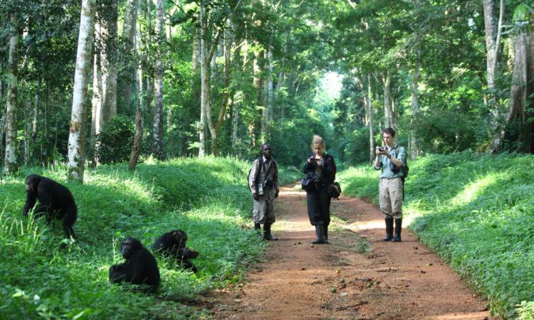 Tourists Tracking Chimpanzees in Uganda